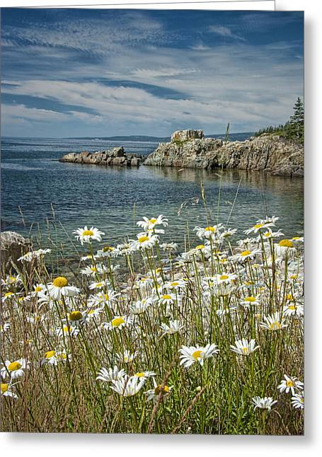Daisies On Maine's Acadia Shoreline Greeting Card