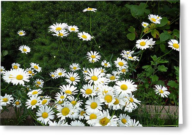 Greeting Card featuring the photograph Daisies by Vicky Tarcau