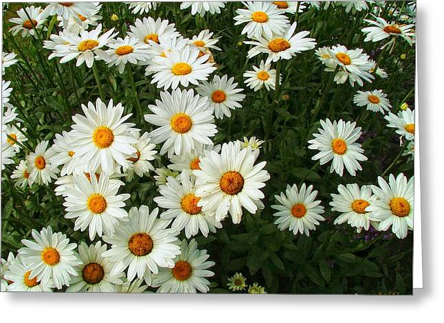 Greeting Card featuring the photograph Daisies by Wendy McKennon