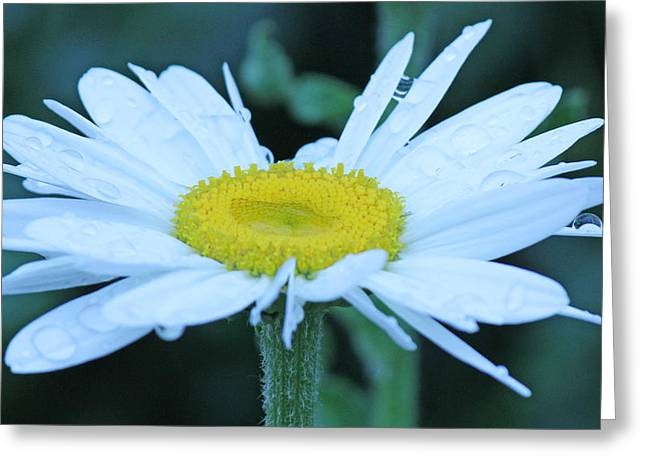Daisy After The Rain Greeting Card by Becky Lodes
