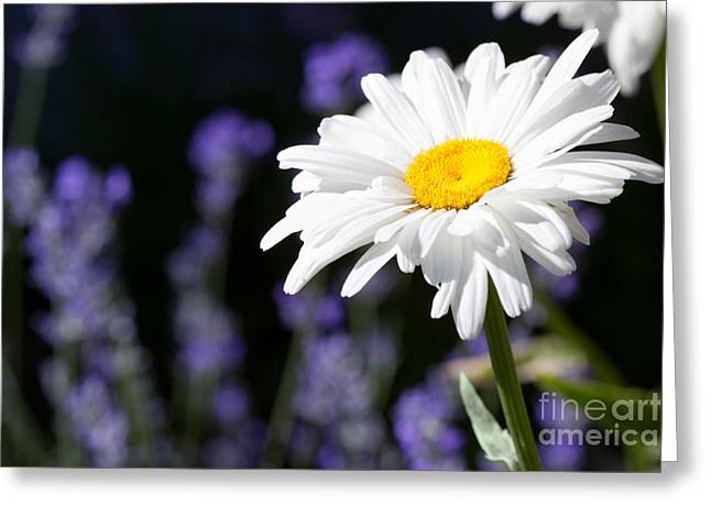 Daisy And Lavender Greeting Card by Cindy Singleton
