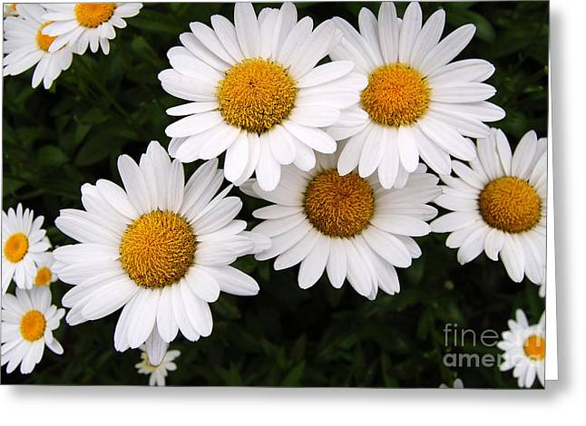 Daisy Blossoms Greeting Card