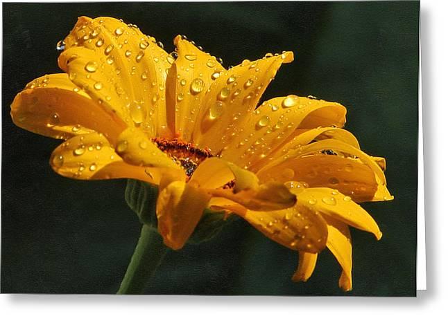Daisy In The Rain Greeting Card by Georgiana Romanovna