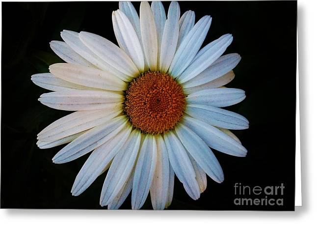 Greeting Card featuring the photograph Daisy by Jasna Gopic