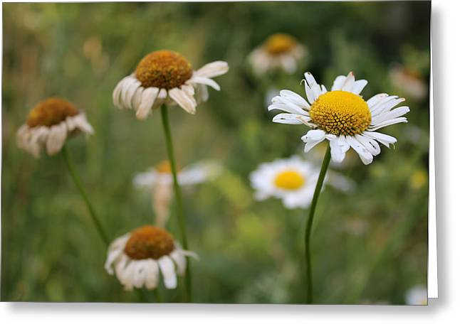 Daisy Maisy Greeting Card by Kathleen Holley