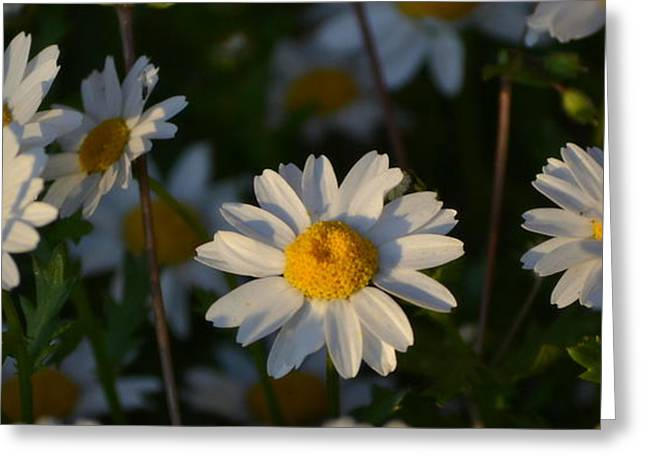 Greeting Card featuring the photograph Daisy by Rima Biswas