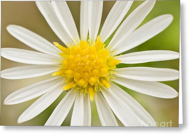 Greeting Card featuring the photograph Daisy Sunshine by Julie Clements