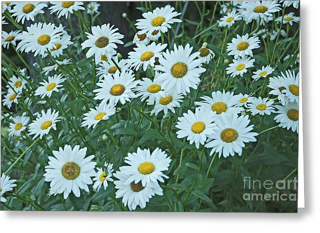Daisy's Don't Tell Greeting Card