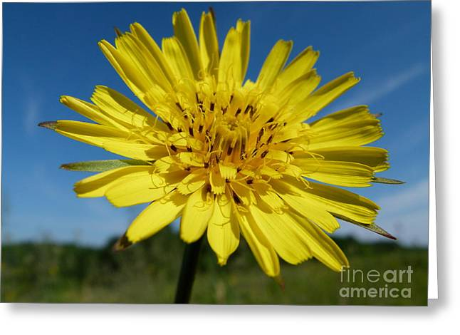 Dandelion Greeting Card by Christine Stack