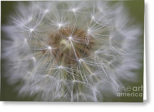Dandelion Clock. Greeting Card