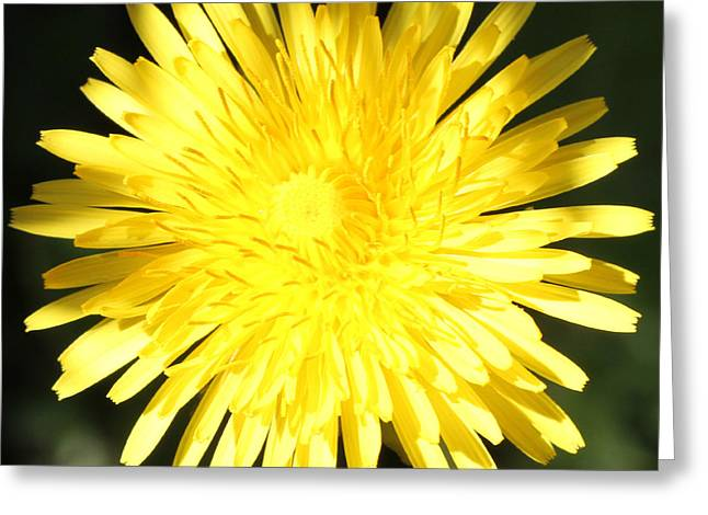 Dandelion Detail Greeting Card