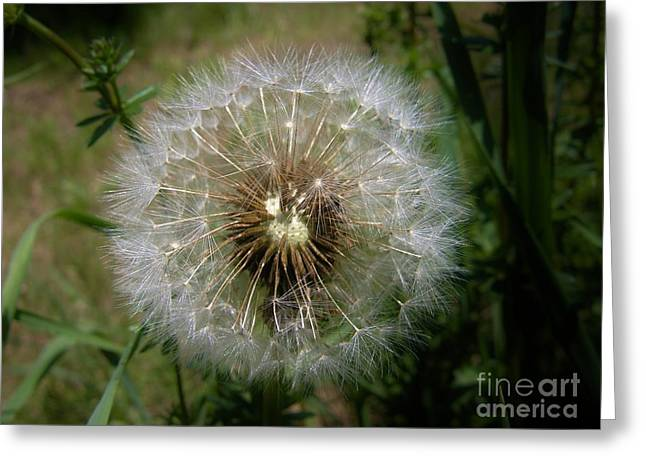 Greeting Card featuring the photograph Dandelion Going To Seed by Sherman Perry