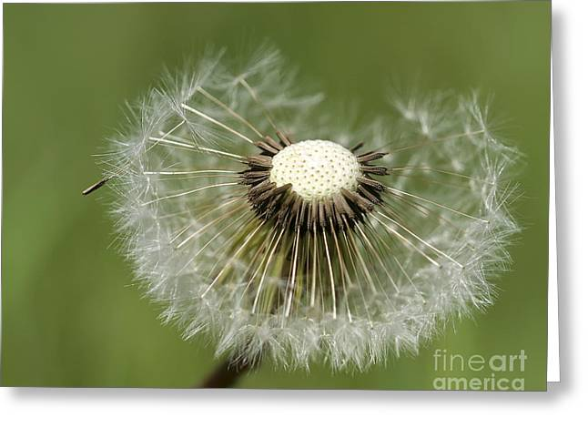 Dandelion Half Gone Greeting Card by Teresa Zieba