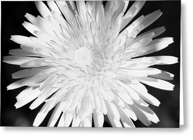 Dandelion In Black And White Greeting Card by Mark J Seefeldt