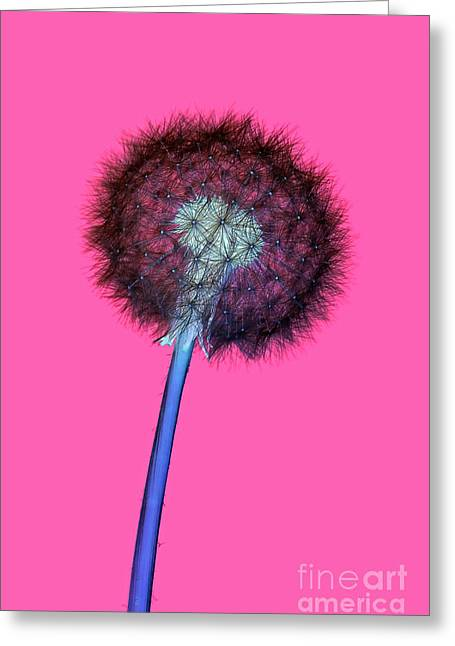 Dandelion Negative Greeting Card by Richard Thomas