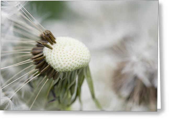 Dandelion Photograph Greeting Card