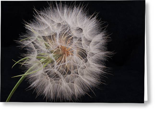 Dandelion Silhouette Greeting Card by Ivelina G