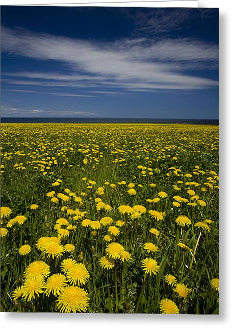 Dandelions, Near Howards Cove, Prince Greeting Card by John Sylvester