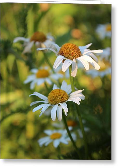 Dapper Daisies Greeting Card by Kathleen Holley
