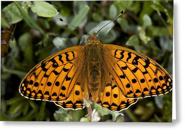 Dark Green Fritillary Butterfly Greeting Card by Dr Keith Wheeler
