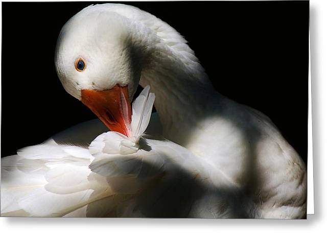 Darling Duck Greeting Card by Paulette Thomas