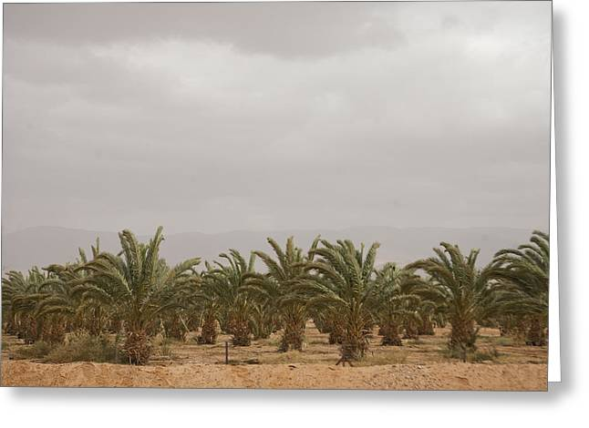 Date Palm Trees In An Orchard Greeting Card by Taylor S. Kennedy