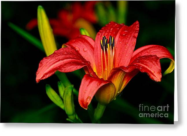 Daylily Greeting Card by Ronald Monong
