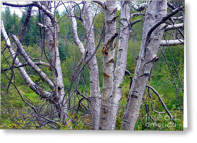 Greeting Card featuring the photograph Dead Birch Tree by Jim Sauchyn