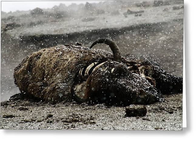 Dead Bison Yellowstone National Park Greeting Card