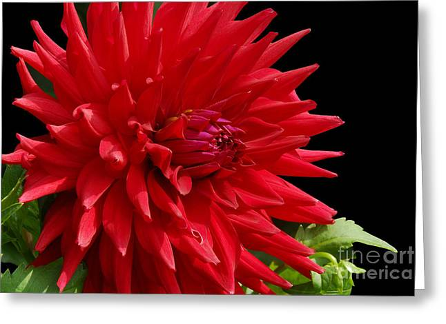 Decked Out Dahlia Greeting Card by Cindy Manero