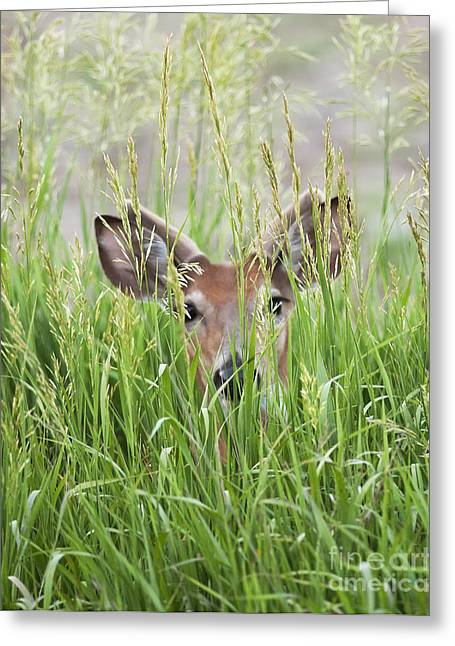 Deer In Hiding Greeting Card by Art Whitton