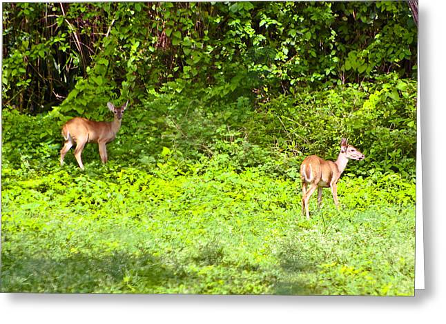 Deer On The North Of St. Croix Greeting Card by David Alexander