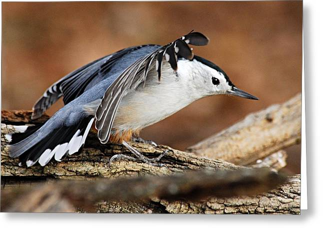 Defiant Nuthatch Greeting Card by Larry Ricker