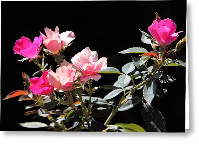 Delicate Old Fashion Pink Roses Greeting Card by Linda Phelps