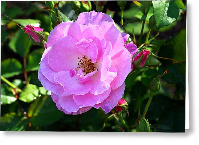 Delicate Pink Wild Rose With Dew Greeting Card