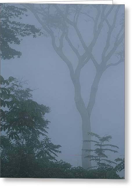 Delicate Trees Appear Out Of The Mist Greeting Card by Mattias Klum