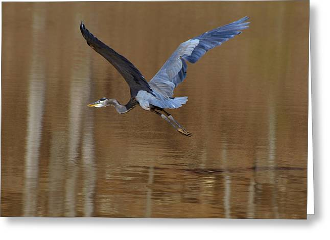 Departing Great Blue Heron  - C7642h Greeting Card