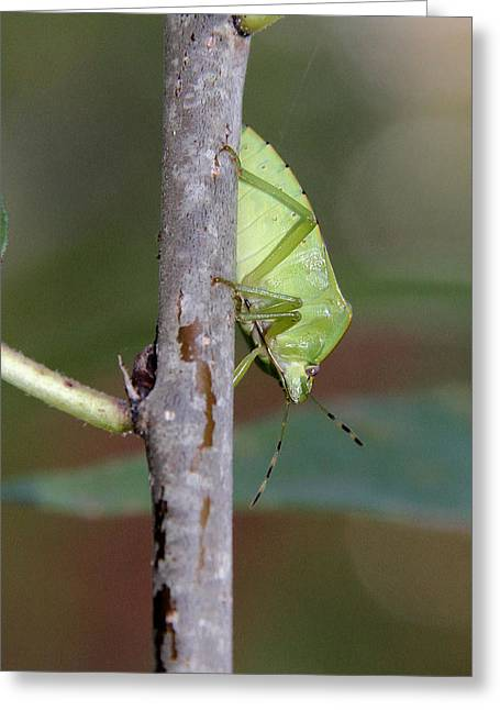 Descent Of A Green Stink Bug Greeting Card by Doris Potter