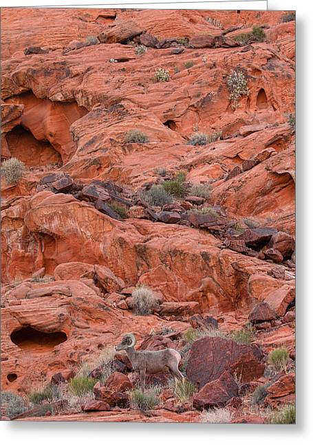 Desert Bighorn And Landscape Greeting Card by Nathan Mccreery