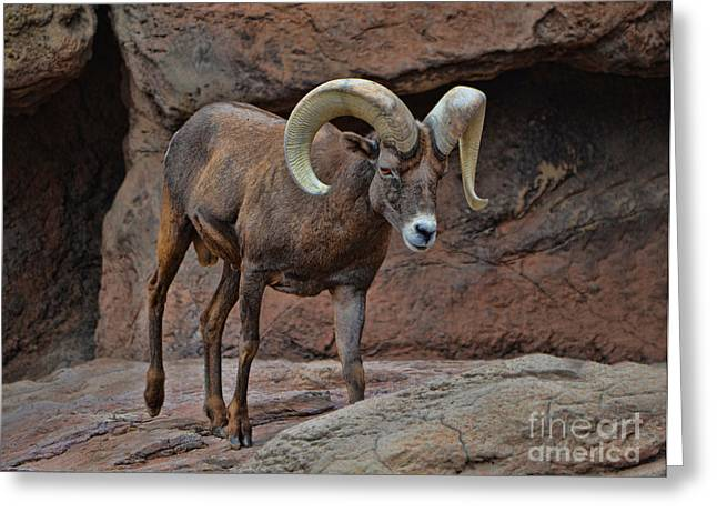 Desert Bighorn Sheep Ram I Greeting Card