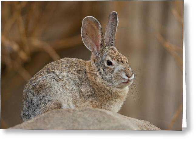 Desert Cottontail Rabbits Greeting Card by Joel Sartore