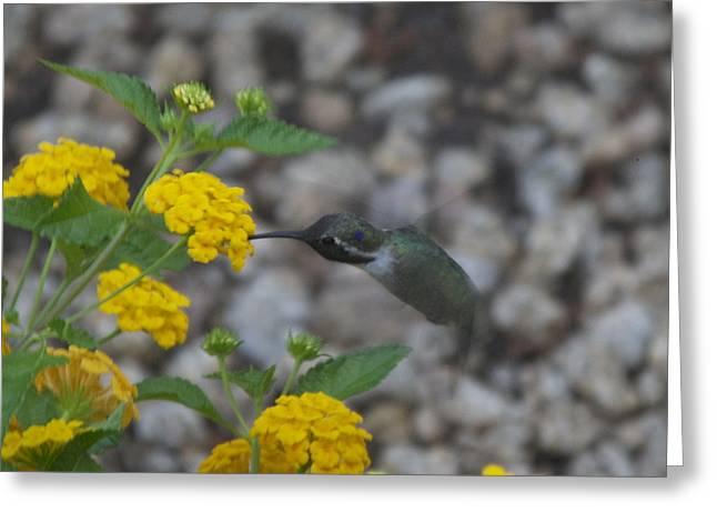 Desert Hummingbird Greeting Card by Dietrich Sauer
