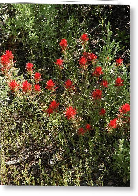 Desert Paint Brush Greeting Card