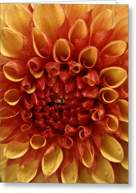 Dew Kissed Chrysanthemum Greeting Card by John Black