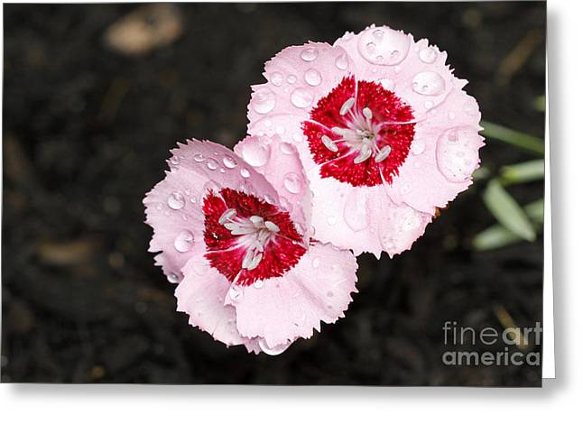 Dianthus Flowers Greeting Card by Denise Pohl
