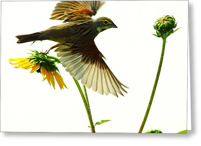 Dickcissel Just Leaving Greeting Card by Robert Frederick