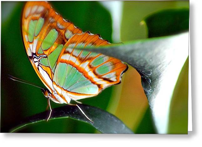 Greeting Card featuring the photograph Dido Longwing Butterfly by Peggy Franz