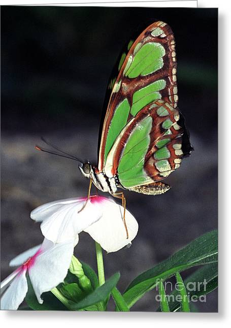 Dido Longwing Butterfly Greeting Card by Terry Elniski