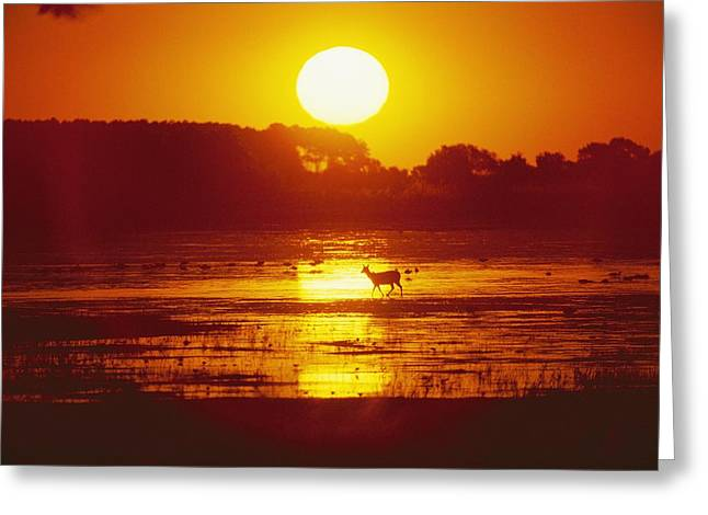 Distant Deer Silhouetted In A Marsh Greeting Card by Amy White & Al Petteway