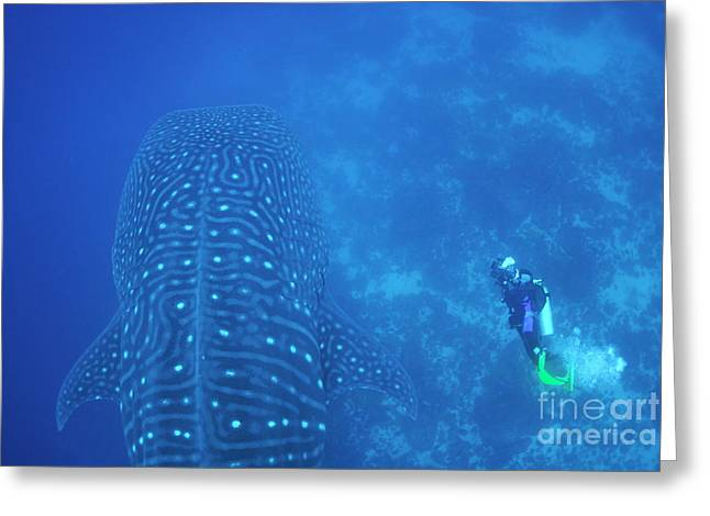 Diver Filmming A Whale Shark Greeting Card by Sami Sarkis
